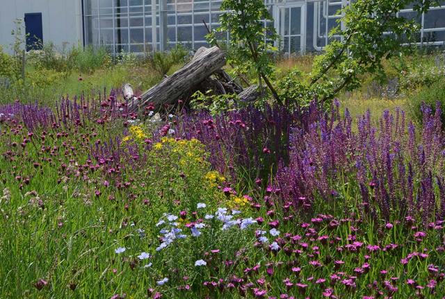 Violetter Steppensalbei neben hellblauem Lein, gelbem Johanniskraut und rosa Karthäusernelken. Im 3. Jahr werden die Ansaaten immer schöner und ausdruckstärker. Die Totholzhaufen sind bereits eingewachsen