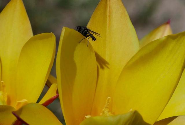 Das Tierleben kehrt automatisch ein. Eine vieler, unzähliger, für die Biodiversität so wichtiger  Fliegenarten ruht auf einer knallgelben Wildtulpenblüte aus