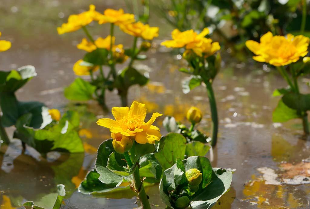 Gelbe Sumpfdotterblumen am Naturteich auf der Nordseite