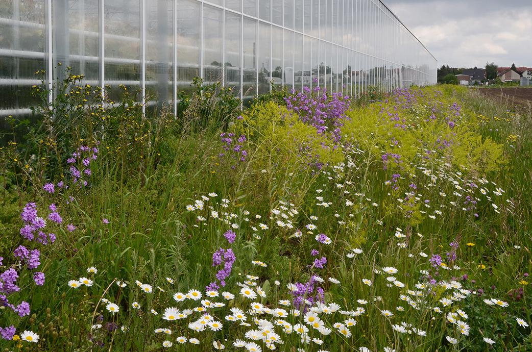 An anderer Stelle durften Wildblumensäume entstehen, hier mit weißen Margeriten, lila blühenden Nachtviolen und verblühtem Färberwaid