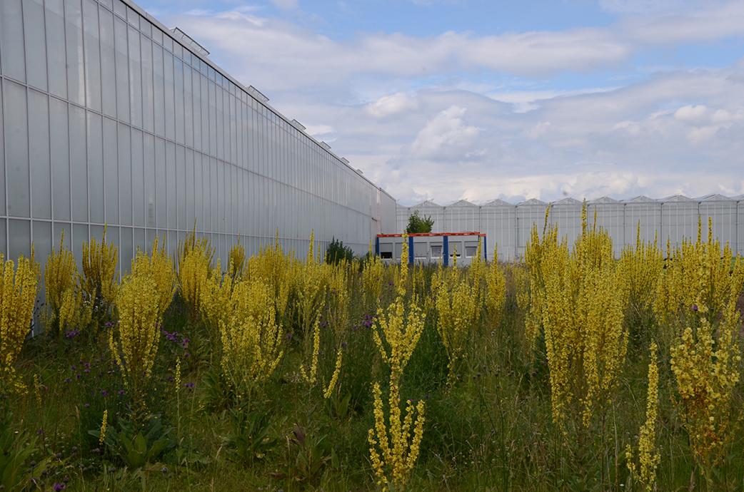 Alles vom mit großen gelben Königskerzen. An den Längsseiten des Gewächshauses kamen beeindruckende Säume hier, hier wohnen inzwischen Rebhühner