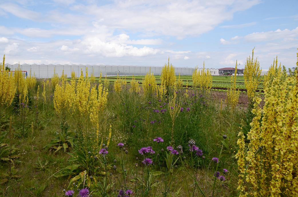 Blick vom Blumensaum auf die Gemüsefelder. Natur & Landwirtschaft. Das geht auch. Höfler Gemüse ist ein Leuchtturmbeispiel