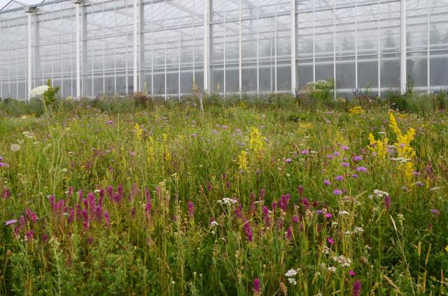 Blick über magere Blumenwiese. Lila Ackerwachelweizen, gelbes Wiesenlabkraut  und Co. Als ob es schon immer so gewesen wäre. Dabei ist die Fläche gerade 4 Jahre alt