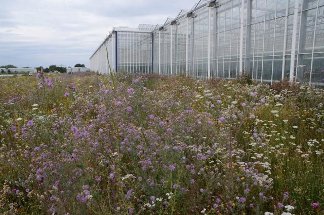 BLick auf Magerwiee am Gewächshaus. Und jedes Jahr wechseln die Bilder. Nun sind rosa blühende Steppenflockenblumen und Pannonische Flockenblumen im Vormarsch