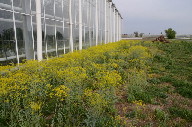 Gelb blühender Färberwaid von einem Gewächshaus. Der Klimawandel geht an solchen Wildblumenansaaten nicht spurlos vorbei, aber sie halten es aus. Und reagieren auf ihre evolutiv angeborene Weise. So wie der dadurch stärker gewordene Färberwaid hier