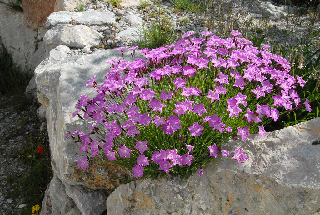 Details der Bepflanzung zeigen die Schönheit unserer heimischen Natur. Hier ein schon alter und  riesengroßer rosa blühender Pfingst-Nelken-Horst