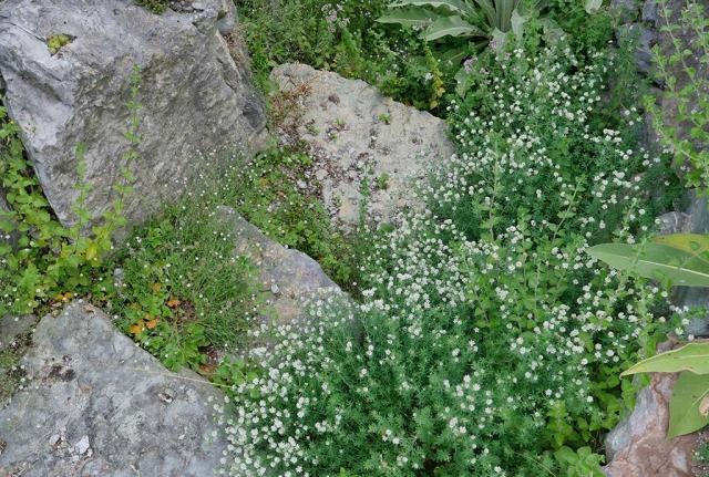 Weiß in großen Büscheln blühender Deutscher Backenklee hat sich auf einer der Terrassen breit gemacht. Er samt sich vielfach aus, auf andere Terrassen und die Wege unterhalb