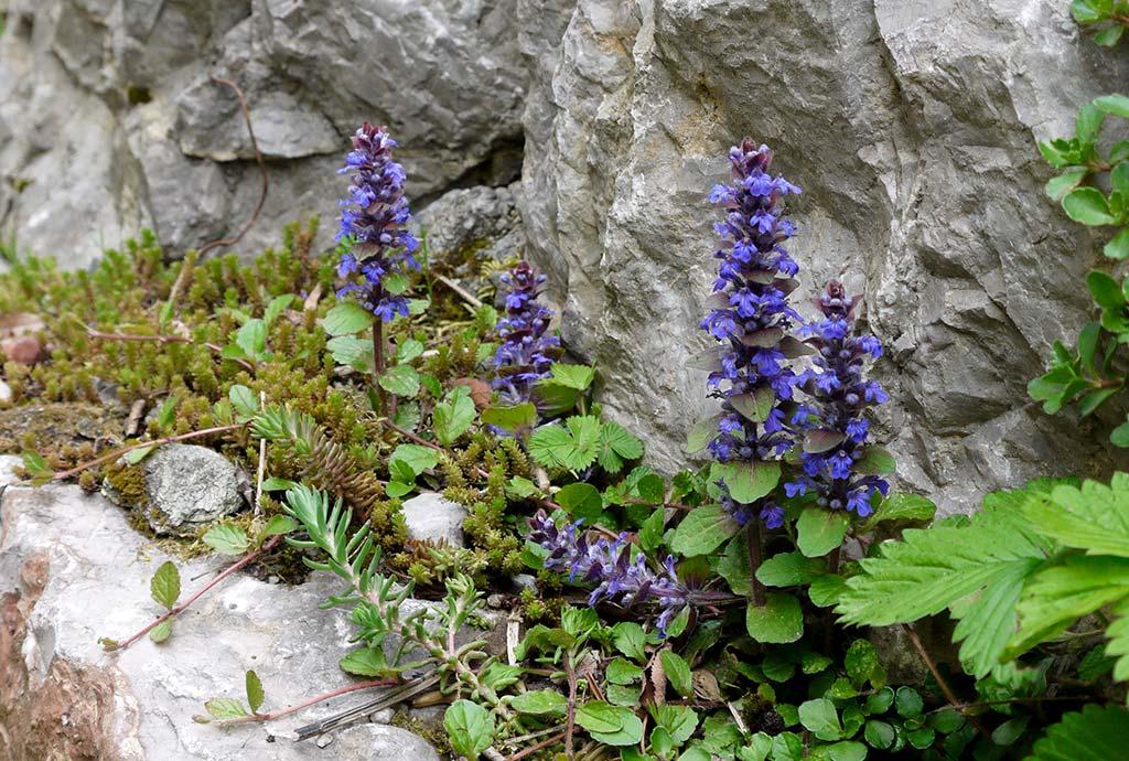 Man kann an jeder Ecke stehen bleibt und bekommt immer wieder neues zu Gesicht. Hier tiefblau blühender Genfel Günsel zusammen mit Scharfem Mauerpfeffer auf einem Mauervorsprung.