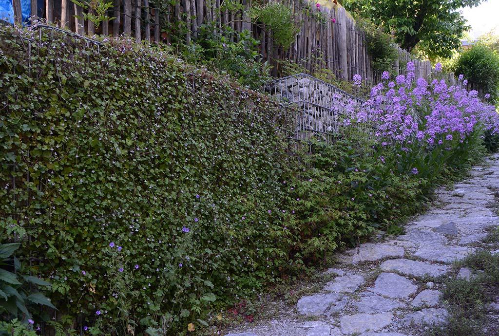 Die steile mit großen Natursteinbrocken gepflasterte Abfahrt zum Carport trägt seitlich hohe Gabionenkörbe. Die Natur holt sich die Metall-Stein-Konstruktion zurück, hier mit rosblütigem Zimbelkraut und lila Nachtviole.