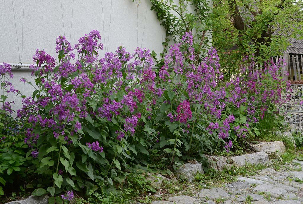 Garten der hunderte Pflanzenarten. Violettes Einjähriges Silberblatt sät sich seit vielen Jahren in diesem Schattenbeet immer wieder neu aus. So geht Natur.