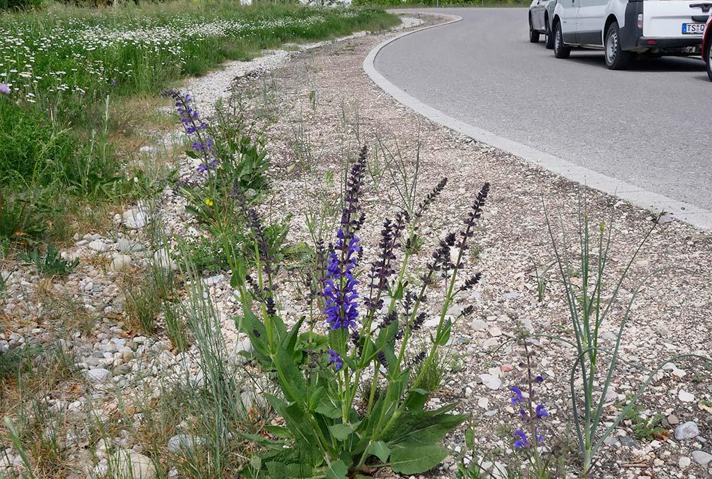 Ein paar Wiesensalbei blühen im Sommer 2018, der Rest der Fläche ist weitgehend kahl