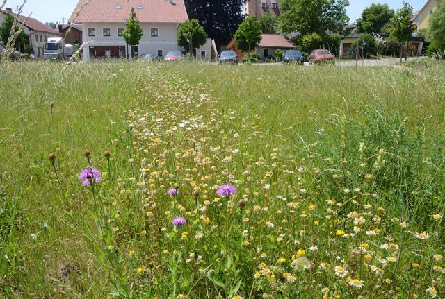 Sommer 2019. Alles dauert ein Jahr länger. Die Einsaatstreifen in der Graswiese brauchen zwei statt einem Jahr, um blütenreich auszusehen