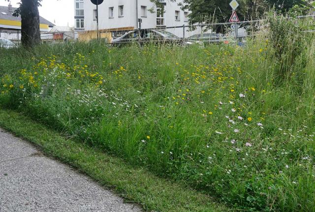 Artenanreicherung in Trostberg an einer Böschung. Vorher wuchs hier nur Gras. Jetzt sieht man schon viele Wiesenblumen