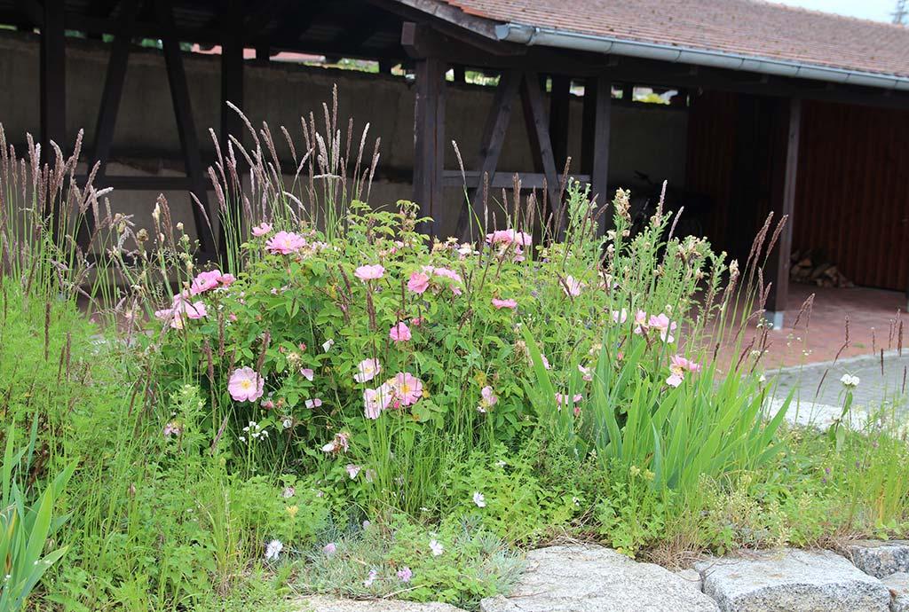 Duftbeet mit rosa blühender Essigrose und aufrechten Karl-Foerster-Reitgrasbuescheln drumherum im Fruehsommer 2020, Foto: A. Welskop