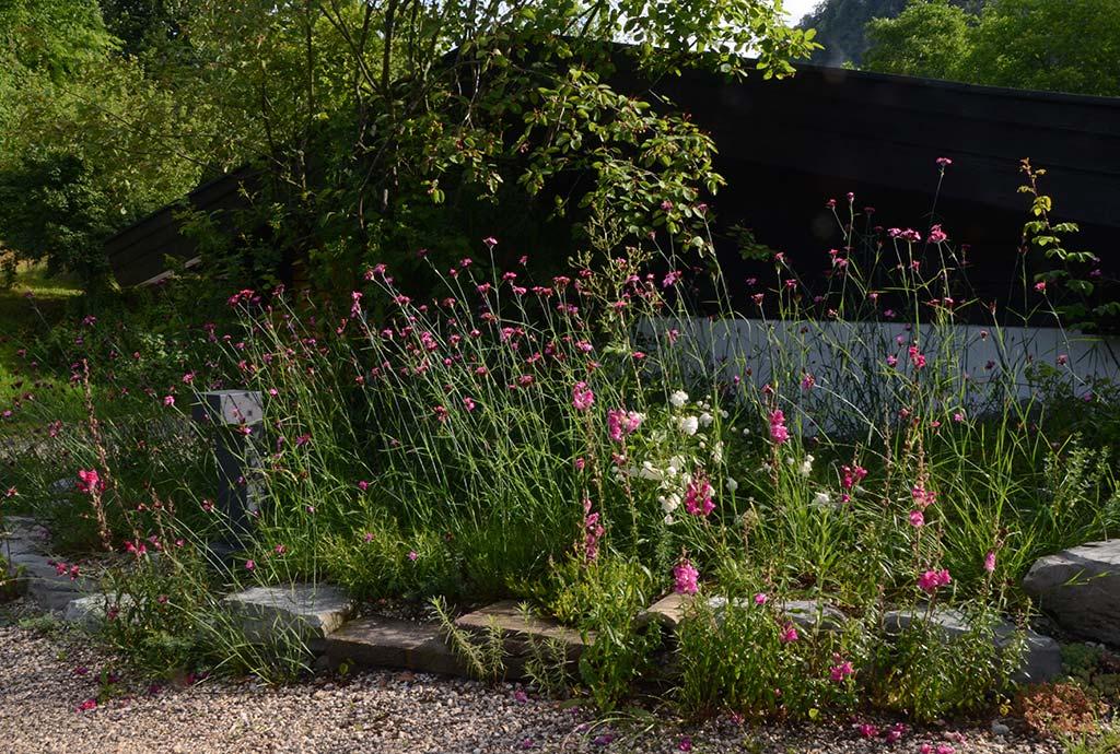 Kleiner Aspekt am Wegrand. Wildes Loewenmaul blüht rot vor der wegbegleitenden Mauer, rosa Riesen-Nelken dahinter