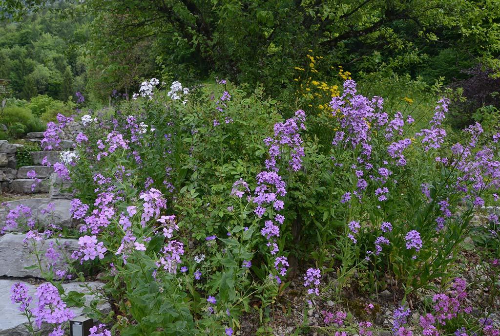 Ein Beet rechts von einer Kalksteintreppe. Lila Nachtviolen begleiten die naturnahen Rosen eines Heckensaumes.