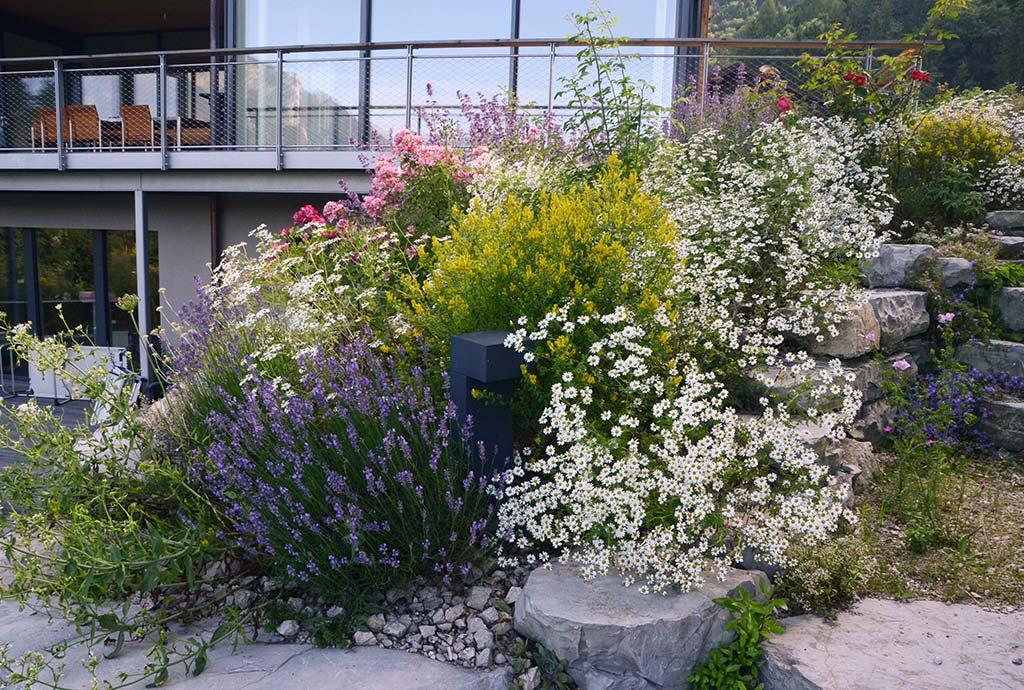 Gelber Färbergisnter, hellblauer Lavendel, weiße Staubige Margeriten und rosa Moschusrosen. Das Rosen-Duftplanzenbeet in voller Pracht. Kann Leben schoener sein?