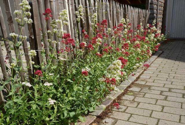 Spornblumen in rot und weiß, dicht an dicht. Nur 30 cm breit ist dieser Wildblumensaum am Staketenzaun im reinen Kies
