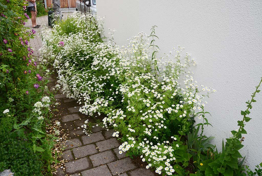 Der Betonsteinweg ist fast zugewachsen. Wildblumenbeete links und rechts der Wege als lebendige Begleiter