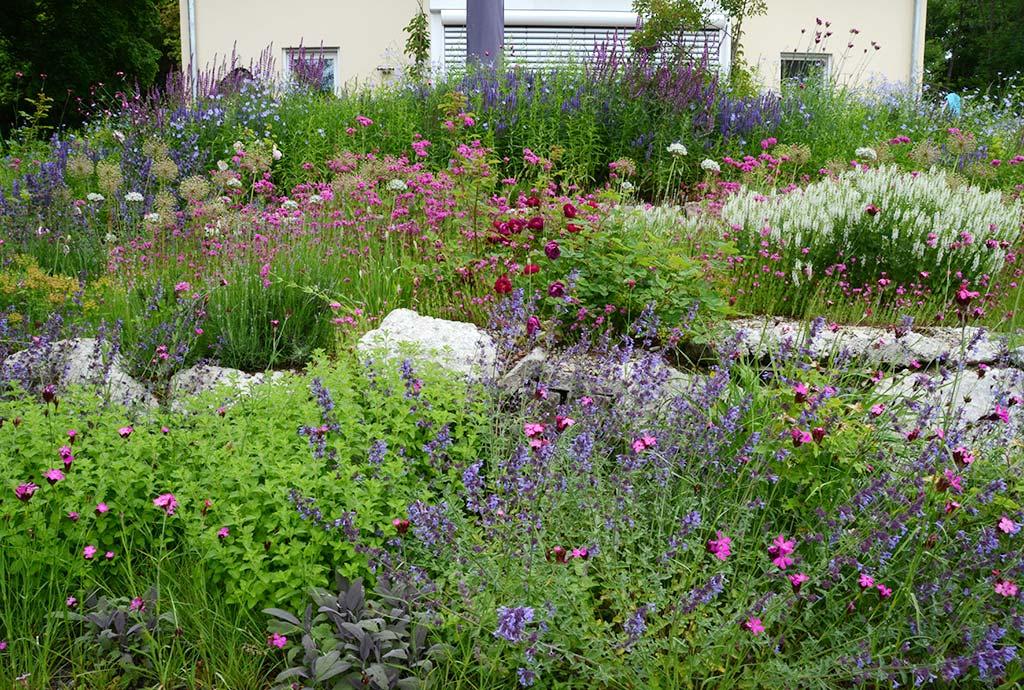 Blick über Rosenbeete mit Blauminzen, einer weißen Steppensalbeiform, Blauweiderich und rosa Karthäusernelken. Ein Jahr älter hat es sich das Blumenbeet weiter verwandelt. Die Einjährigen sind fast weg, jetzt prägen Wildstauden das Bild