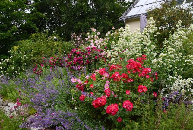 Blick ins Rosenbeet mit prächtig rosa oder tiefrot blühenden Büschen, umlagert von Blauminzen und Spornblumen
