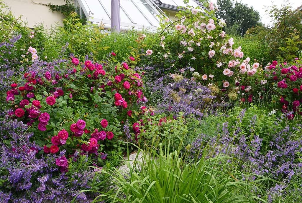 Rosen-Duftpflanzenbeet in übebordender Blütenfülle. Naturnah kann imposante Bilder mit sich bringen