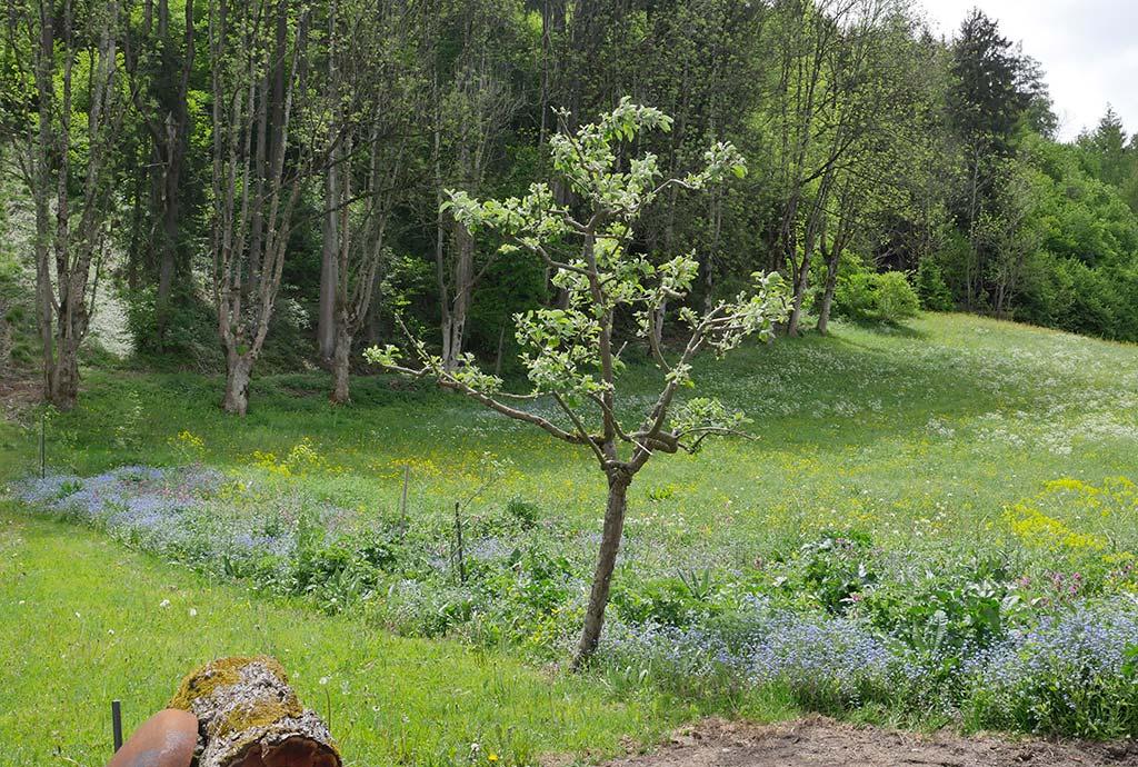 Pill Mai 2017: Westgrenze – von der Hecke ist noch nichts zu sehen, lediglich der eingesäte Saum zeigt erste blaue Blüten vom Waldvergißmeinnicht