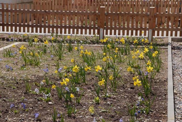 Erste Narzissen und Blausterne sprießen in den Blumenrasen vor den Wohnungen