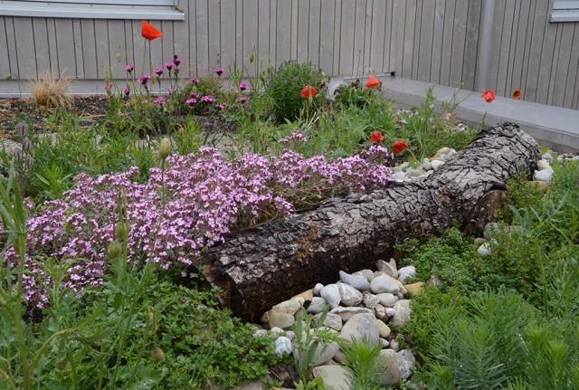 Es blühen Rotes Seifenkraut, rosa Karthäusernelken und etwas roter Mohn. So sieht das Biodiversitätsdach einige Monate später aus