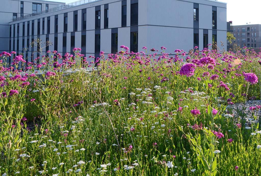 Unsere eigene Biodiversitätsmischung auf einer großen Dachfläche. Neben vielen kleinen Hausdächern gab es auch große zusammenhängende Komplexe