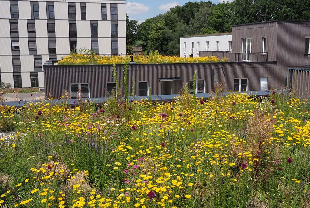 Detail eines Daches mit gelber Färberkamille. Wir haben nicht nur eine Biodiversitäts-Dachmischung entwickelt, sondern verschiedene. So können wir ausprobieren, welche unserer Wildblumenansaaten besonders gut funktionieren
