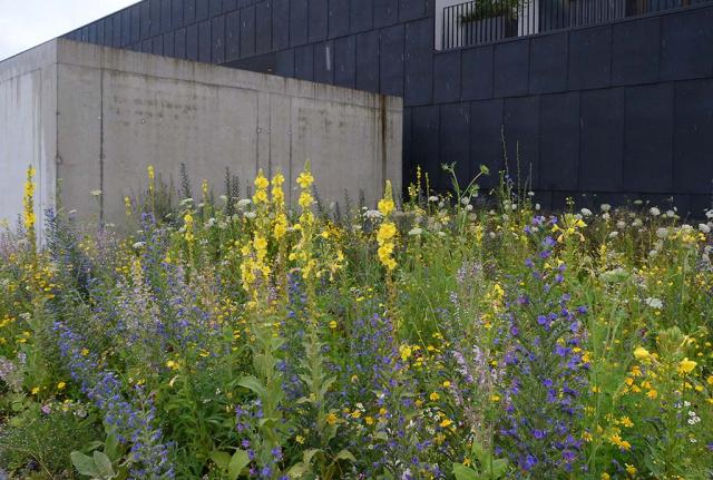 Gelbe Königs- und Nachtkerzen, blauer Natternkopf, weiße Wild Möhre blühen. Ein Jahr später sieht man die Blüten unserer Mühen, ein prachtvoller Saum ist entstanden