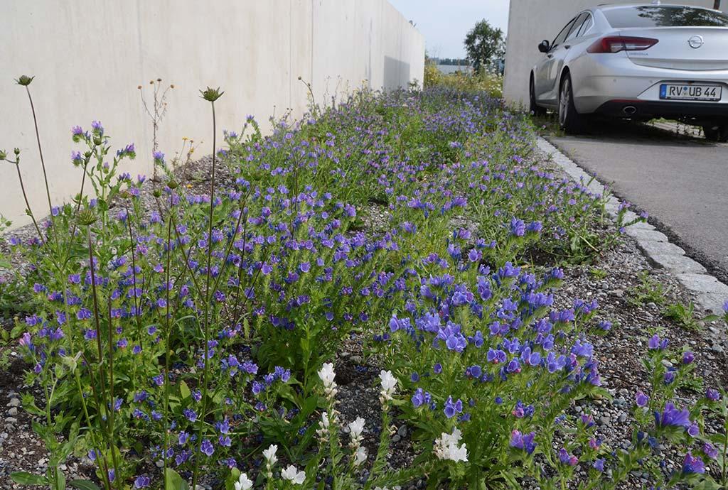 Erstblüte nach drei Monaten mit Blauem Natternkopf