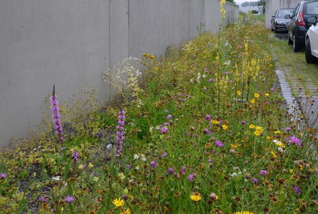 Das ist der Entwässerungsgraben mit Wildblumen ein Jahr später. Lebendig, bunt und artenreich