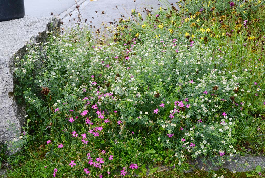 Detail von der neuen Bepflanzung im zweiten Jahr. Deutscher Backenklee in Österreich