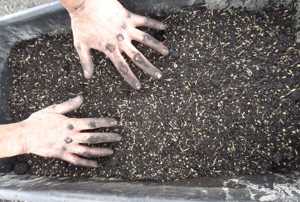 Mischen des Saatgutes mit Kompost vor der Aussaat. Mit dreckigen Händen wird eine große Menge Kompost zugemischt.