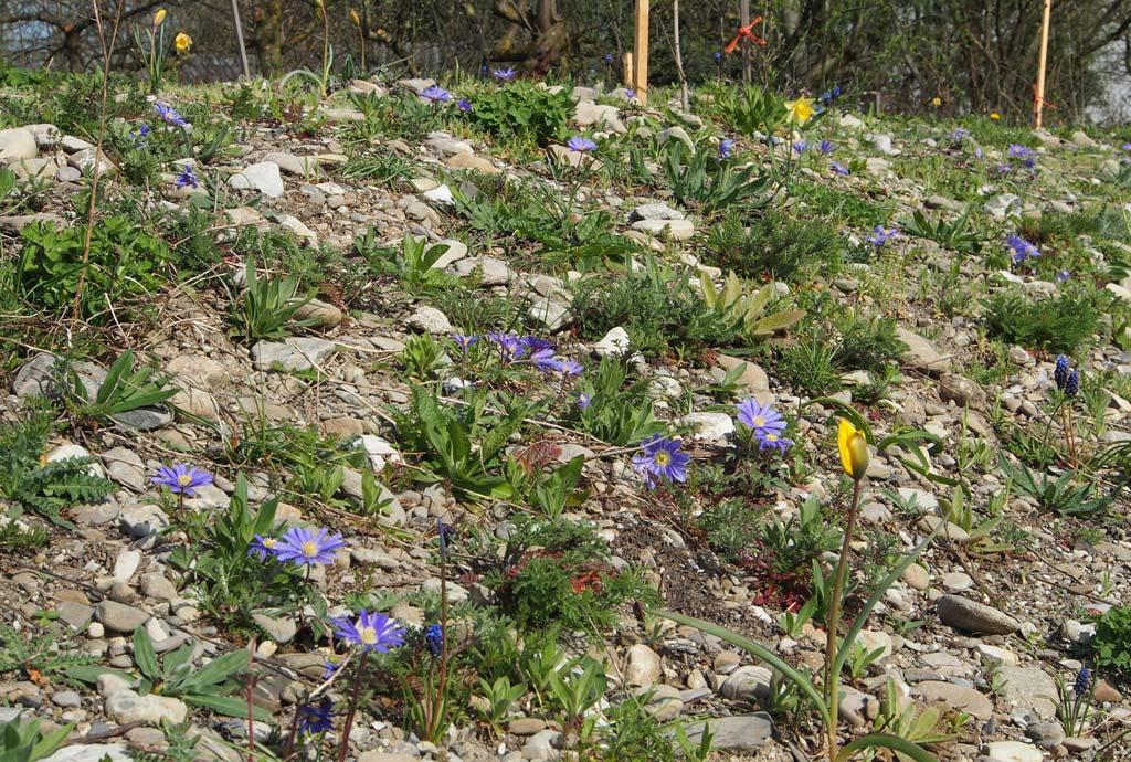 Erstes naturnahes Grün: Neben vielen bereits zu sehenden Keimlingen der Ansaat blühen gelbe Wildtulpen und Blaue Anemonen auf der Kiesböschung.