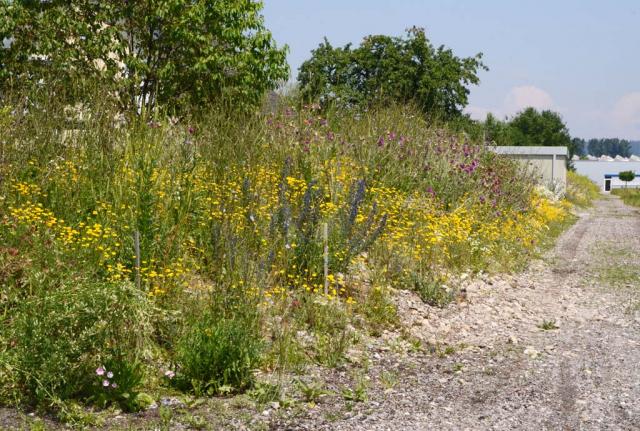 Die große Kiesböschung im 2. Jahr. Es blühen gelbe Färberkamille und violette Nickende Disteln. Alle 20 laufende Meter kommt eine neue Ansaatmischung.