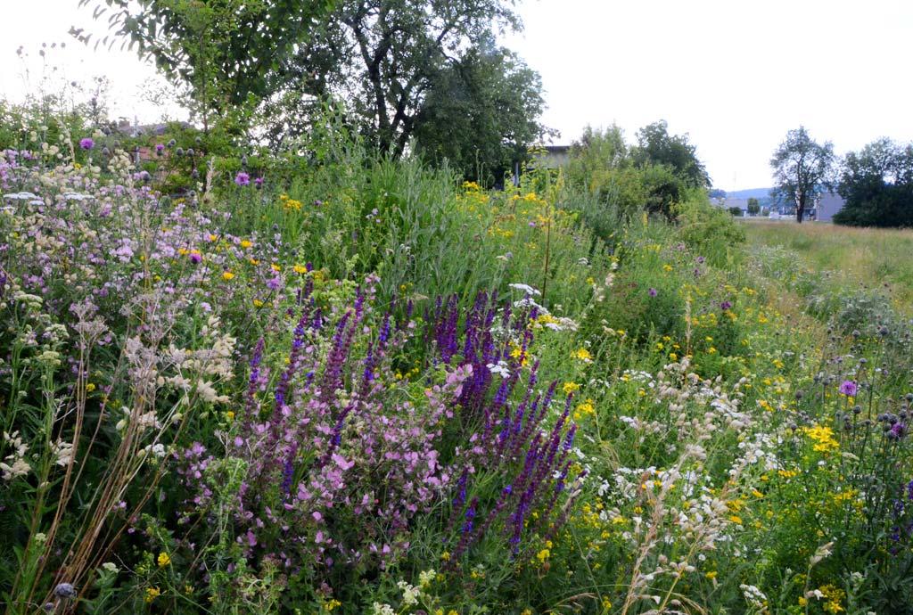 Artenvielfalt pur. Ein Gang entlang der Böschung wird zur botanischen Bestimmungsübung. So viele verschiedene Wildpflanzen blühen jetzt. Man sieht rosa Moschusmalven, violetten Steppensalbei, weiße  Margeriten, lila Flockenblumen, gelbes Johanniskraut.