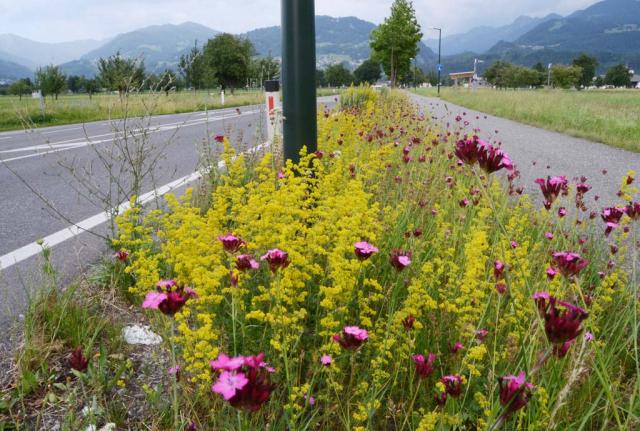 Ein schmaler Streifen zwischen Straße und Fußweg, voller Blumen. Alles ist gelb von Echtem Labkraut, dazwischen rosa Blütenstengel von Riesen-Nelken. Jedes Jahr verändern sich die Flächen. Erst nach langer Zeit entstehen solche unglaublichen Bilder.