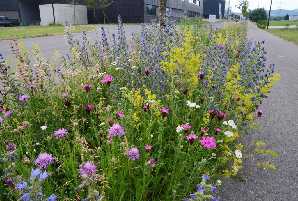 Man sieht rosa Flockenblumen, blauen Natternkopf, weiße Schargarbe, gelbes Labkraut, rosa Karthäuser-Nelken. Ein buntes Durcheinander. Wenn es so aussieht wie hier, haben alle gewonnen: Pflanze, Tier und Mensche.