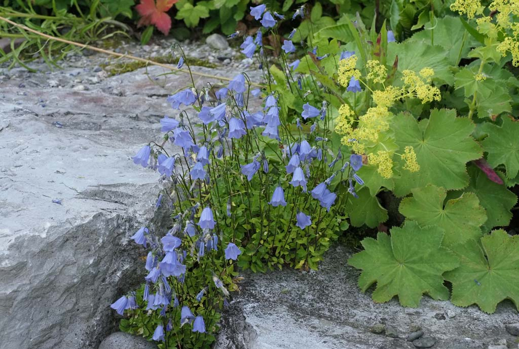 In den Ritzen der großen Böschungssteinen wachsen Mauerpflanzen wie die hellblaue Blütenteppiche bildende Zwerg-Glockenblume
