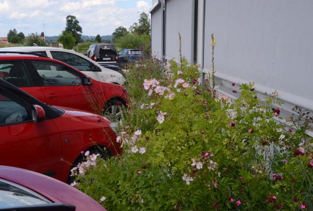 Ein kaum meterbreites, ebenfalls mit Böschungssteinen abgegrenztes Beet mit naturnahen rosa blühenden, kleinen Rosen und rosa Nelken vor der Hauswand.