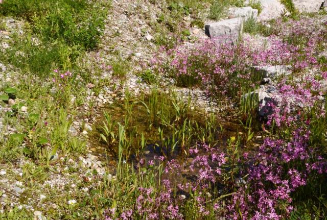 Detail der Regenwasserversickerungs-Mulden mit angesäter rosa Kuckucks-Lichtnelke und grünen Trieben vom Zungen-Hahnenfuß im Mai