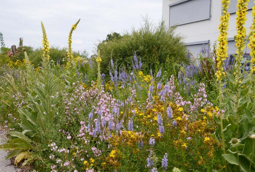 Jedes Jahr wird es bunter und wildblumiger. Gelbe Königskerzen, hellblauer Blauweiderich, rosa Dornige Hauhechel und vieles mehr blühen.