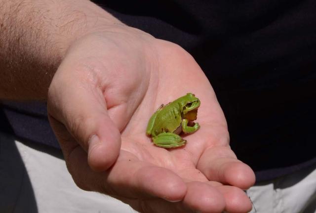 Hellgrüner ausgewachsener Laubfrosch in der Hand eines Geschäftsführers von Skywalk. Die Wildblumen, Gehölze und Regenwasser-Versickerungsbecken bieten Lebensraum für die bedrohte Rote-Liste-Art.