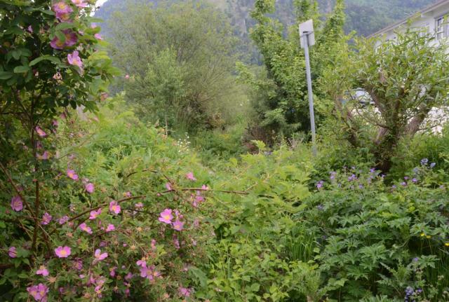 Blick in den Sumpfgraben. Mit den Jahren entwickeln sich auch die am Rand der Regenswasserversickerungs-Mulden gepflanzten heimischen Gehölze wie im Bild dichtgrüne Weiden oder rosa blühende Zimtrosen