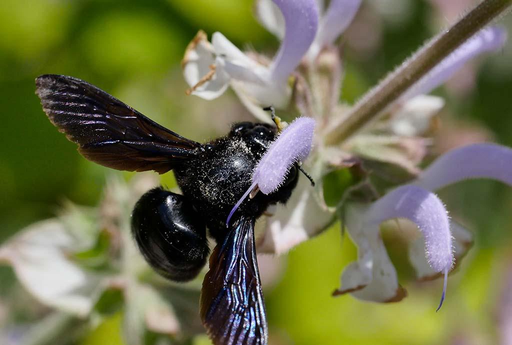Blüten für Newcomer: Holzbiene auf Muskatellersalbei. Die Holzbiene ist ein Generalist und kommt mit vieler Art Blüten klar. Allerdings bevorzugt sie ganz klar Lippen- und Schmetterlingsblütler