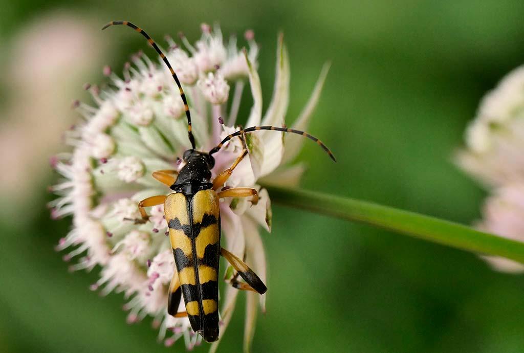 Generalist Gefleckter Schmalbock auf Sterndolde. Bockkäfer haben nur einfache Mundwerkzeuge und können nur an Blüten fressen, an denen der Pollen gut erreichbar ist. Meist sind das die offenen Blüten von Korb-, Rosen- und Doldenblütler.