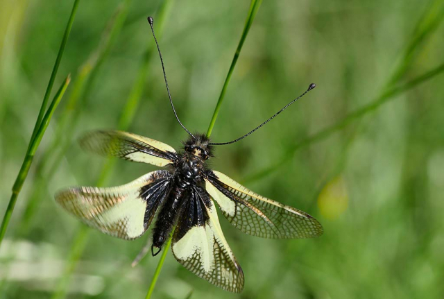 Grashalm mit Libellen-Schmetterlingshaft, wartet auf besseres Wetter. Die Vielfalt der Pflanzen und Strukturen ergibt eine Vielfalt von Tieren
